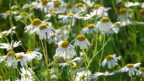 genuine-chamomile-58638_1920-eye-144x81.jpg