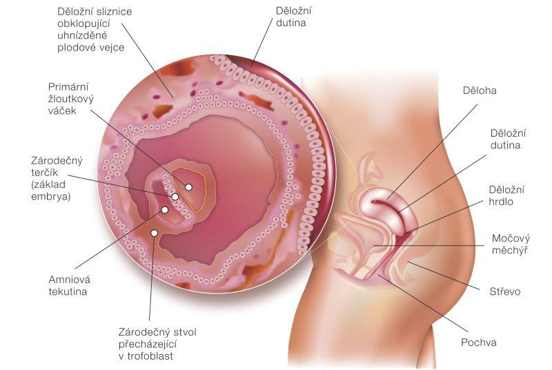 4_tyzden_tehotenstva.jpg